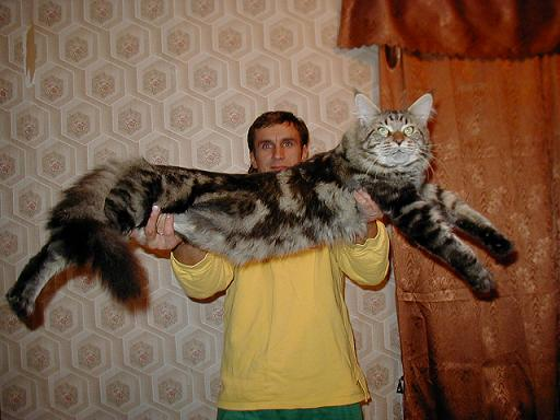Достоинства кошки мейн кун.