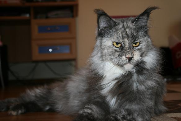 Кот породы мейн-кун в дар